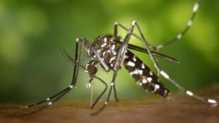 Le moustique-tigre se reconnait par la présence d'une ligne longitudinale blanche en position centrale sur son thorax noir, visible à l'œil nu.