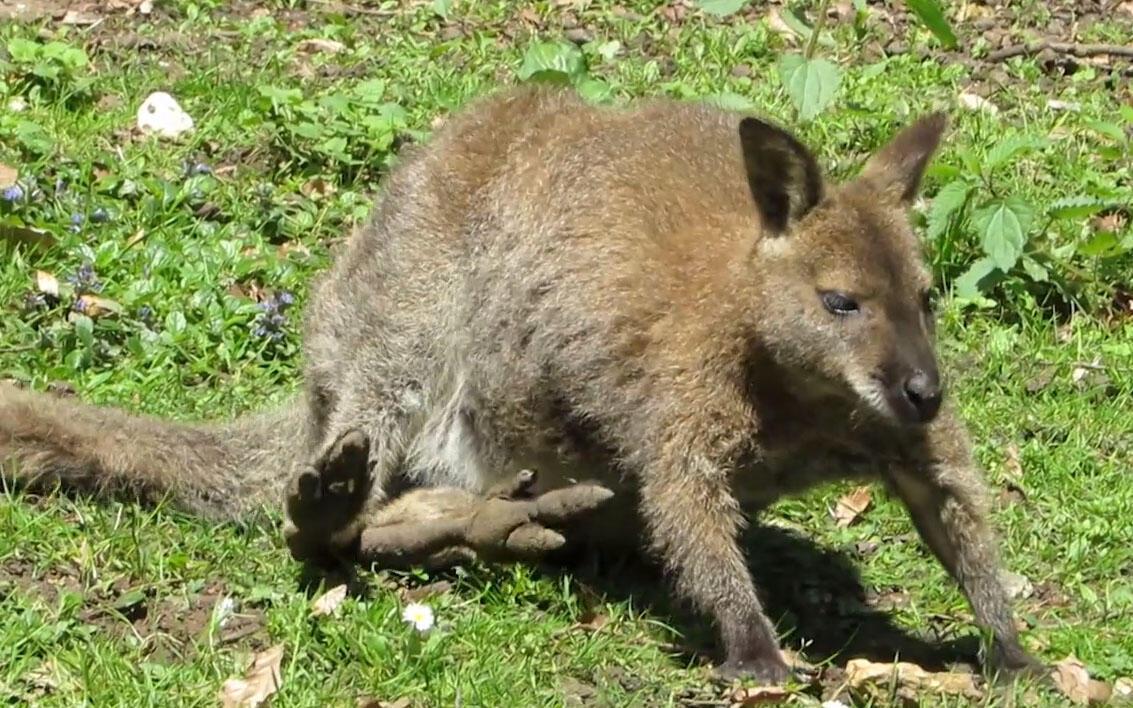 Cangurus pertenciam a reserva natural, mas escaparam e hoje vivem soltos, nas proximidades de Paris.