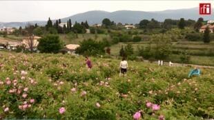 """En Grasse se cultiva la """"Rosa de Mayo"""", una de las flores más utilizadas en perfumería."""