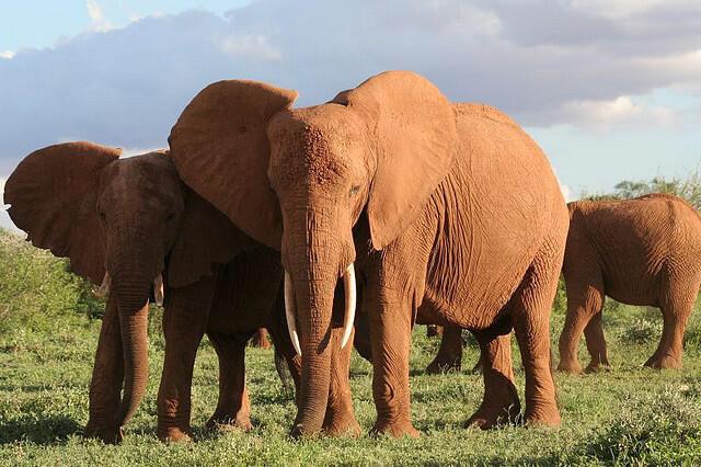 Elefantes africanos são vítimas de caça ilegal.