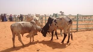 Des bovins élevés au Niger.