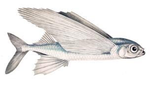 L'exocet, plus connu sous le nom de poisson volant.