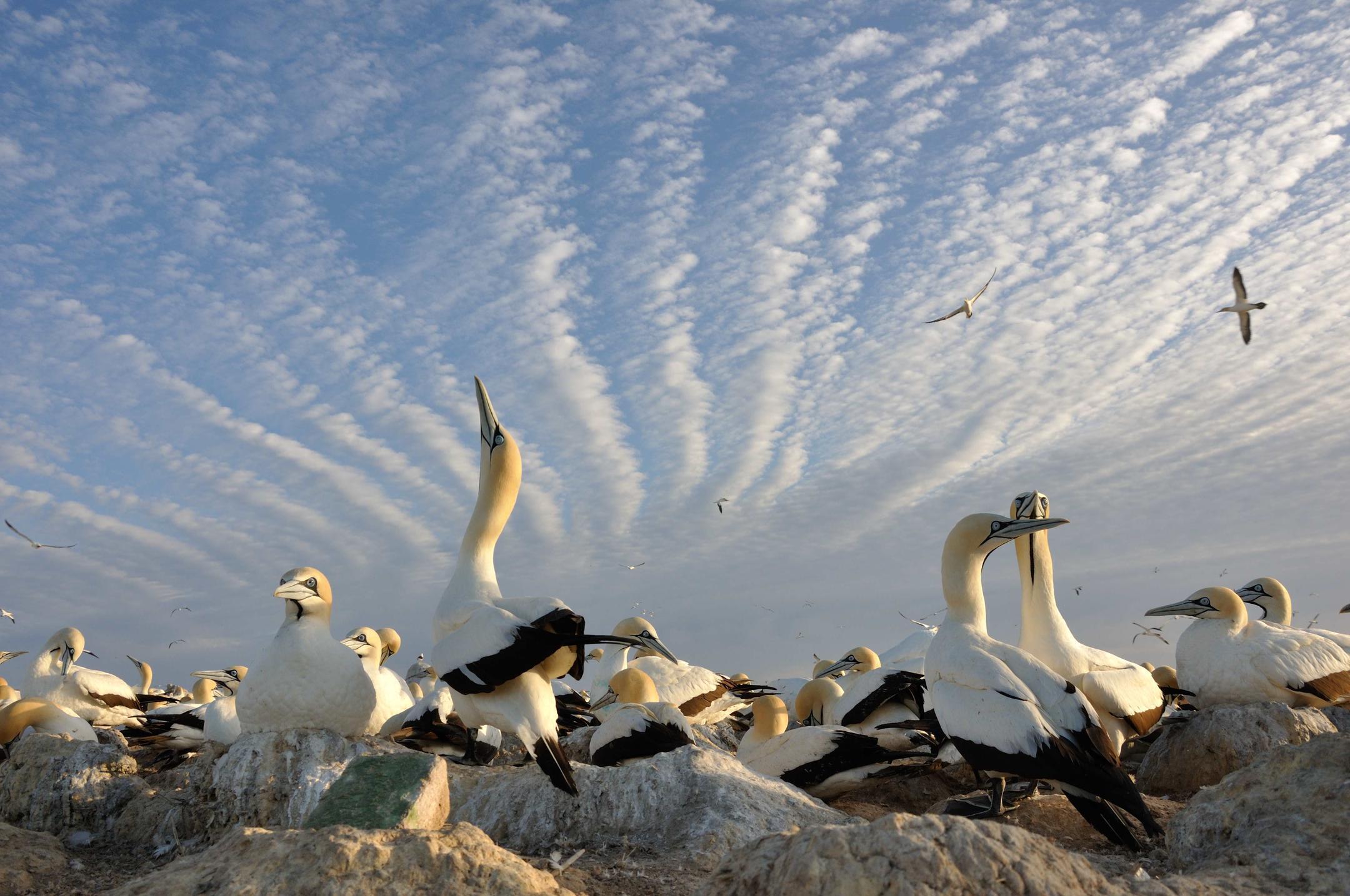 Alcatraces de El Cabo, en las costas de sudáfrica, (Benguela upwelling area), otrora, un ecosistema marino donde residían numerosas aves marinas.