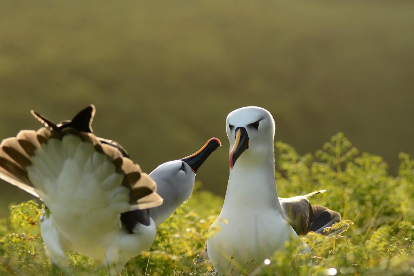 2021-01-14 namibia wildlife birds seabirds yellow-nosed albatross