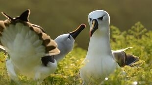 Courting Atlantic yellow-nosed albatrosses: the birds migrate vast distances between Namibia and remote islands.