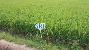 Champ de riz SRI (système de riziculture intensive), à Bama.