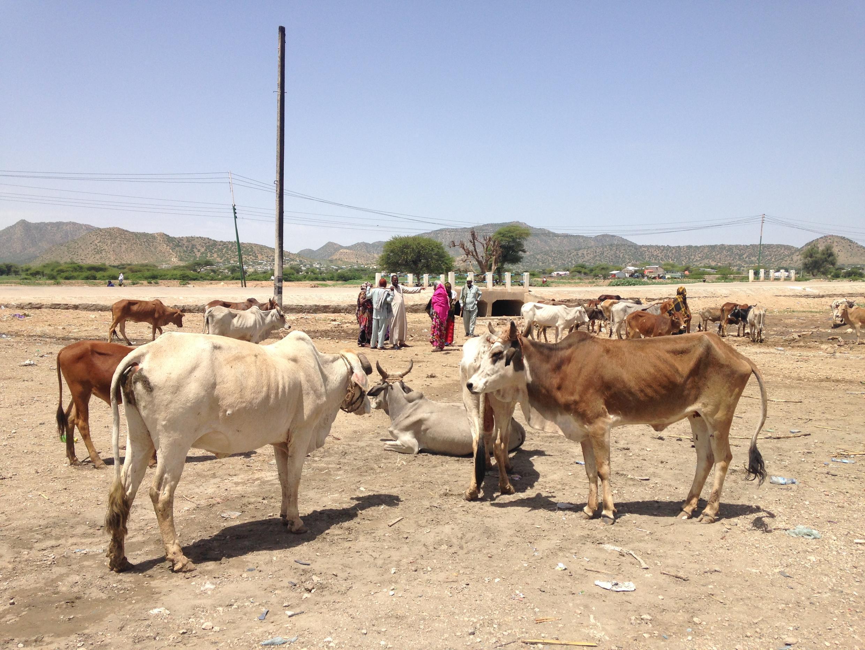Mifugo katika eneo la  Somaliland