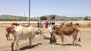 L'un des programmes financés vise à nourrir et à vacciner le bétail pour subvenir aux besoins de la population (image d'illlustration).