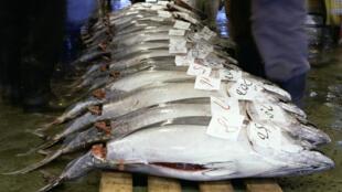 En quelques années, les stocks de thon rouge de Méditerranée et d'Atlantique se seraient reconstitués.