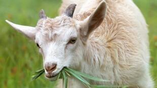 Chèvre - image d'illustration - goat-1596880