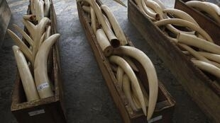Des containers remplis d'ivoire saisis à Hong Kong le 7 août 2013. Monnayer les trophées rapporte gros, un kilo d'ivoire acheté 200 euros à un braconnier peut valoir jusqu'à 2000 euros en Chine ou en Thaïlande.