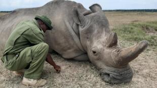 Fatu, l'une des deux dernières représentantes vivantes de rhinocéros blancs du Nord, à la réserve kényane d'Ol Pejeta Conservancy, dans le parc national de Laikipia.
