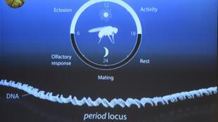 Três investigadores foram galardoados por descobertas relativas aos mecanismos moleculares que controlam o ritmo circadiano.