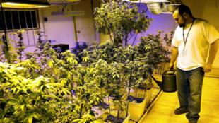 Un cultivateur autorisé de cannabis arrose ses plants à Denver, le 31 décembre 2013.