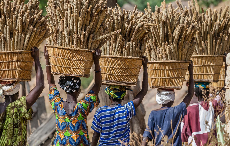 Récolte de millet au Mali.