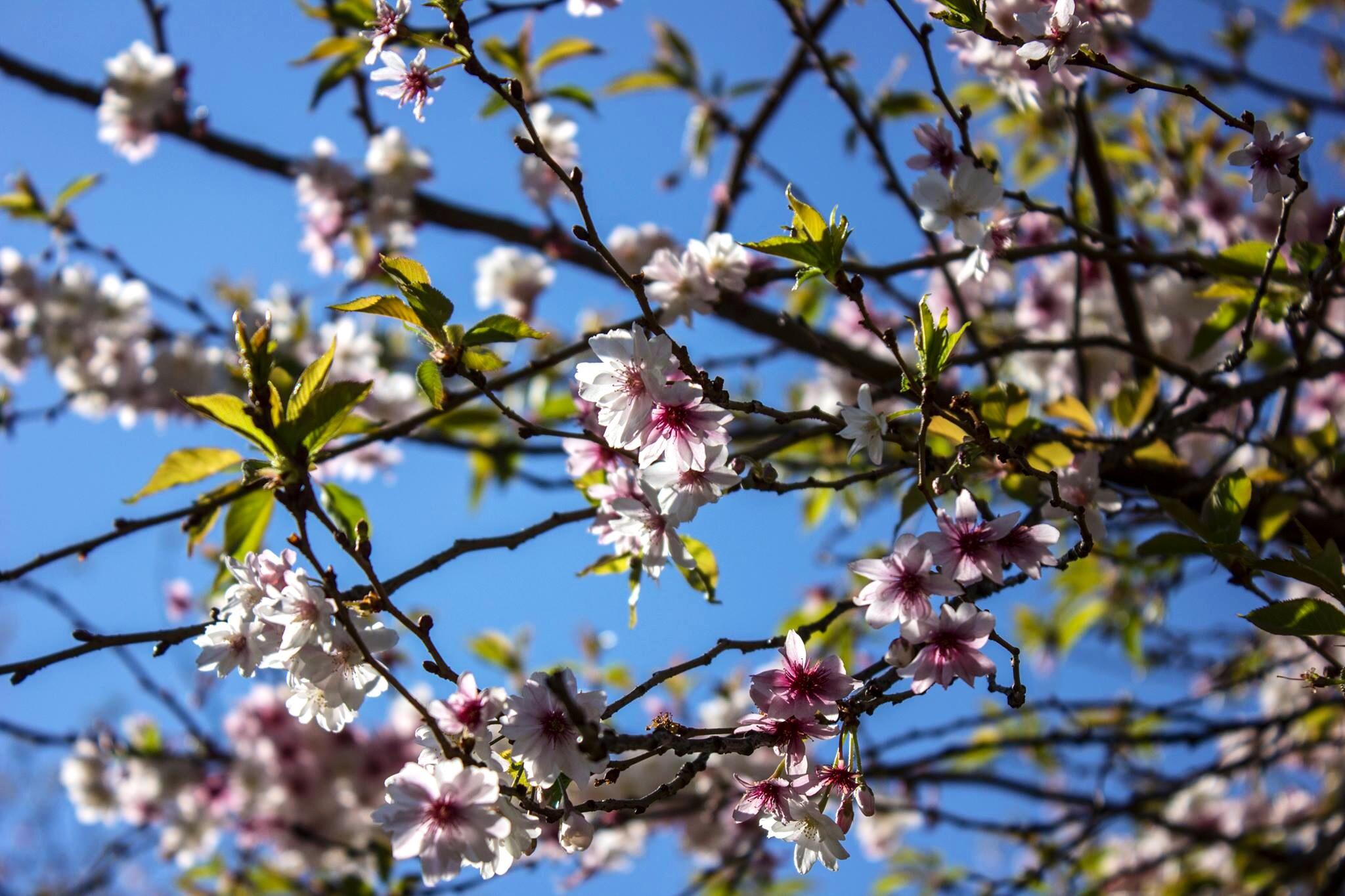 Un arbre en fleur, dans un jardin de Paris, au début du printemps. En France, les pollens sont apparus assez tôt cette année.