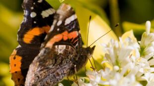 Espécie Vulcain é uma das borboletas ameaçadas na Europa.