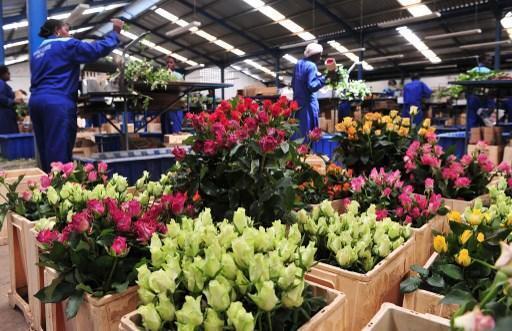 Les employés de la ferme Maridaidi à Naivasha au Kenya préparent les roses destinées à l'exportation en Europe. Le Kenya est le principal fournisseur de fleurs coupées au marché de l'Union européenne, avec 18% des exportations vendues au Royaume-Uni.