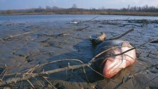 Peces muertos a raíz de la contaminación de la mina de Aznalcollar en el río Guadiamar.