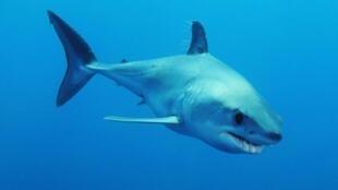 El tiburón Mako, víctima de la sobrepesca.