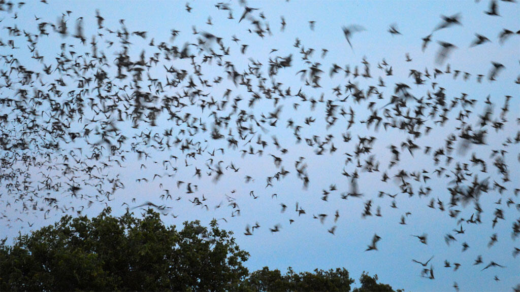Murciélagos en San Antonio, Texas.