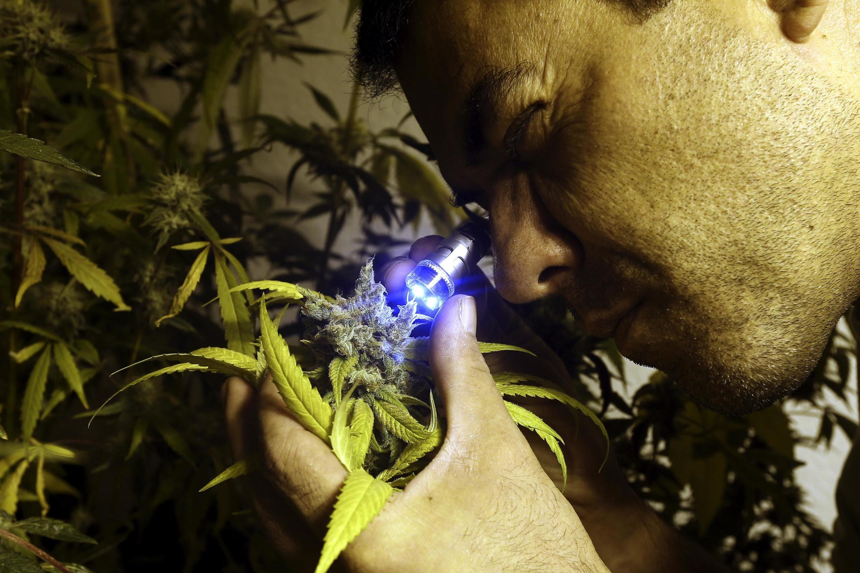 El activista y cultivador de marihuana Juan Vaz observa una flor de marihuana, también llamada 'cogollo'.