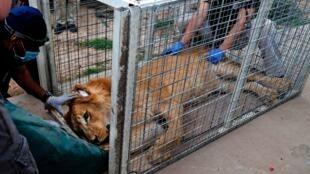 Лев Симба из зоопарка в Мосуле, 27 марта 2017.