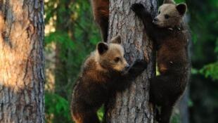 Jeunes ours grimpant à un arbre.