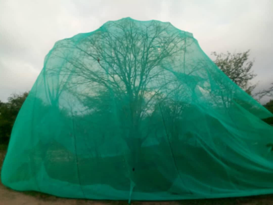 Net covering a mopane tree in Marange, eastern Zimbabwe. The net protects the caterpillars from birds