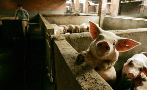 Un élevage porcin à Changdu en Chine