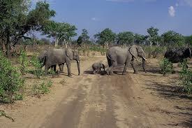 Famille d'éléphants au Parc Hwangé / Zimbabwe.