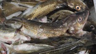 Les quotas de pêche du cabillaud ont une nouvelle fois été drastiquement restreints en mer Baltique pour l'année prochaine.