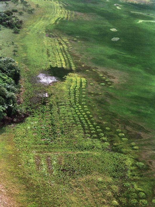 Champs surélevés précolombiens dans les marais littoraux de Guyane.
