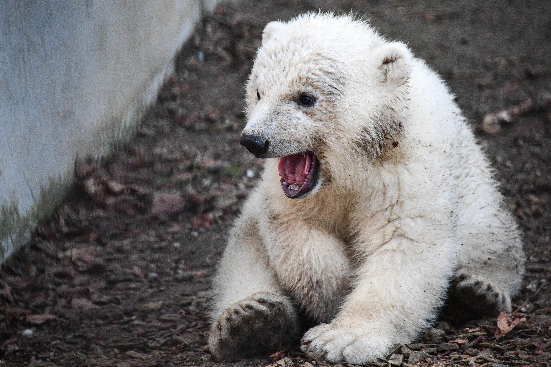 Белый медвежонок Кара стала международным послом в борьбе с глобальным потеплением.