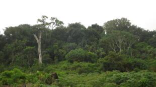 La forêt des Marais Tanoé-Ehy (Côte d'Ivoire).
