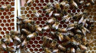 As abelhas têm papel essencial na polinização e a exterminação delas pode trazer sérios prejuízos para a produção de alimentos.