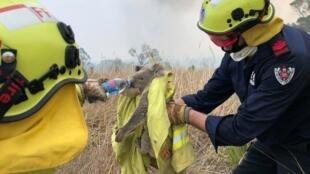 Les animaux sont aussi victimes du changement climatique, comme les koalas en Australie, victimes des incendies: les sauvetages de koalas sont devenus emblématiques de la lutte contre le changement climatique (New South Wales, le 21 novembre 2019).