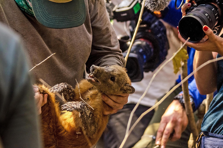 Um guaxinim é resgatado de uma área ardente de brejos por um grupo de biólogos no brejo do Pantanal, estado do Mato Grosso, Brasil, em 26 de agosto de 2020.