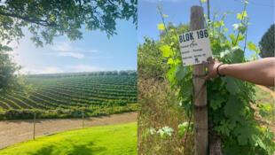 Vignes Afrique du Sud - Vignobles - Prisca Gilbert - Stellenbosch