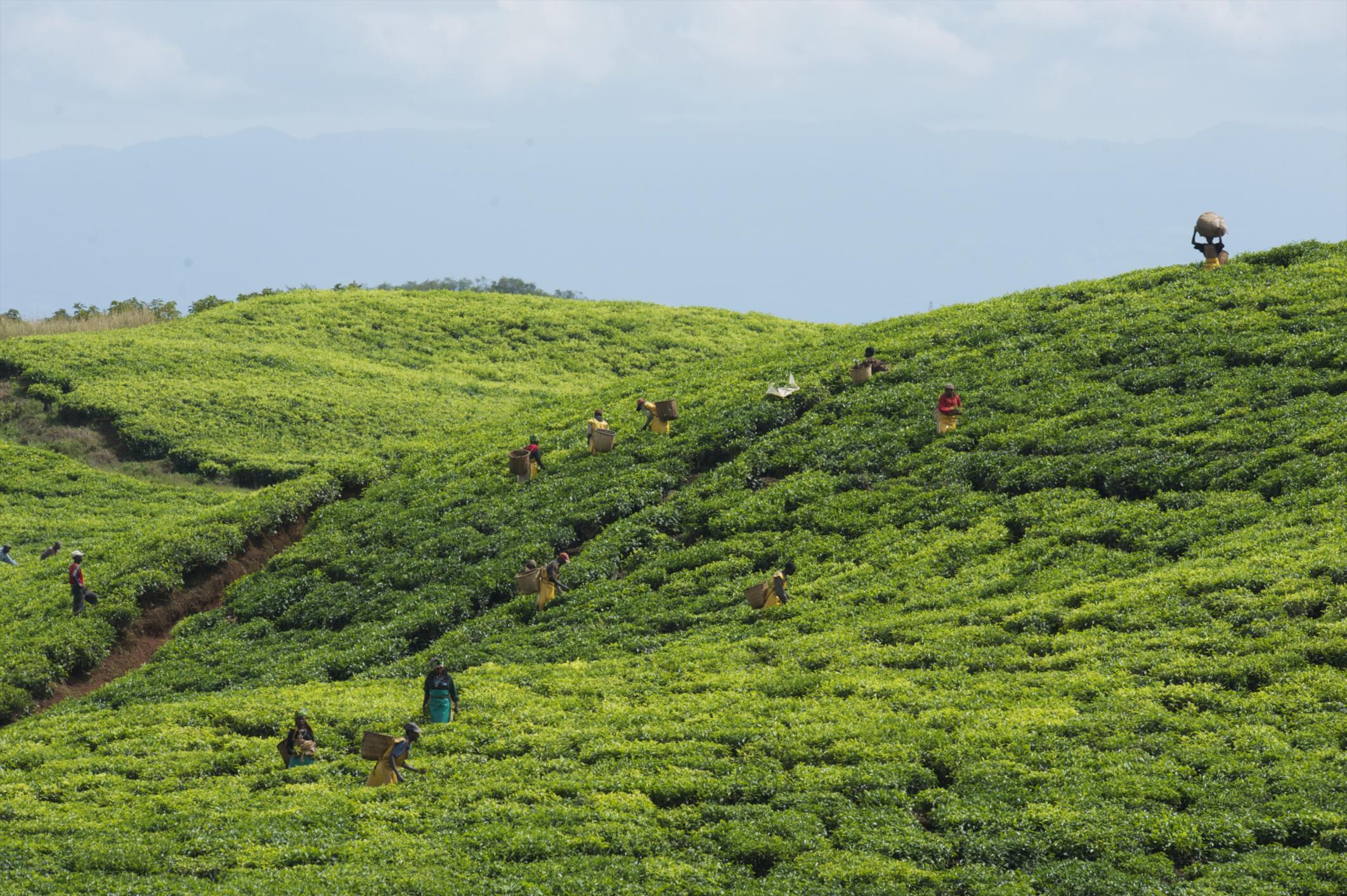 Récolte dans une plantation de thé dans le sud du Rwanda.