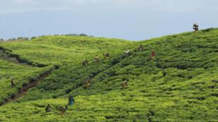 Récolte de thé. La demande reste forte pendant le ramadan et elle augmente au niveau mondial de 2 à 3% tous les ans.