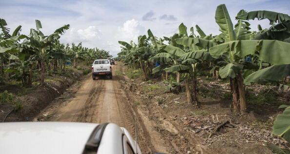 les exportations vers l'Europe ont cessé de décliner, mais elles battent des records en 2015 : 278 000 tonnes pour le Cameroun, 254 000 tonnes pour la Côte d'Ivoire. Photo : une baneraie à Mondoni au Cameroun.