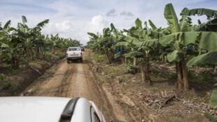 Une bananeraie à Mondoni, au Cameroun.