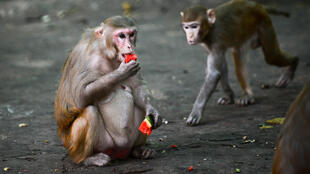 Two new studies of rhesus macaque monkeys provide hope that humans can develop protective immunity against coronavirus