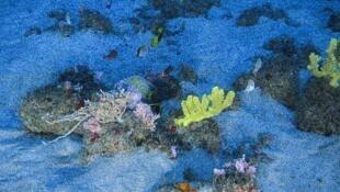 Ao lado da anêmona, um peixe cherne, uma espécie ameaçada de extinção (www.greenpeace.org).