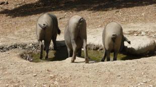 Los famosos cerdos ibéricos.