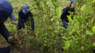 Campesinos colombianos trabajan en la erradicación de la coca. Imagen de ilustración. Archivo.