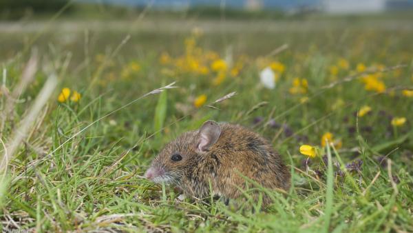 En los aeropuertos viven roedores pequeños pero también de mayor tamaño, como los zorros.