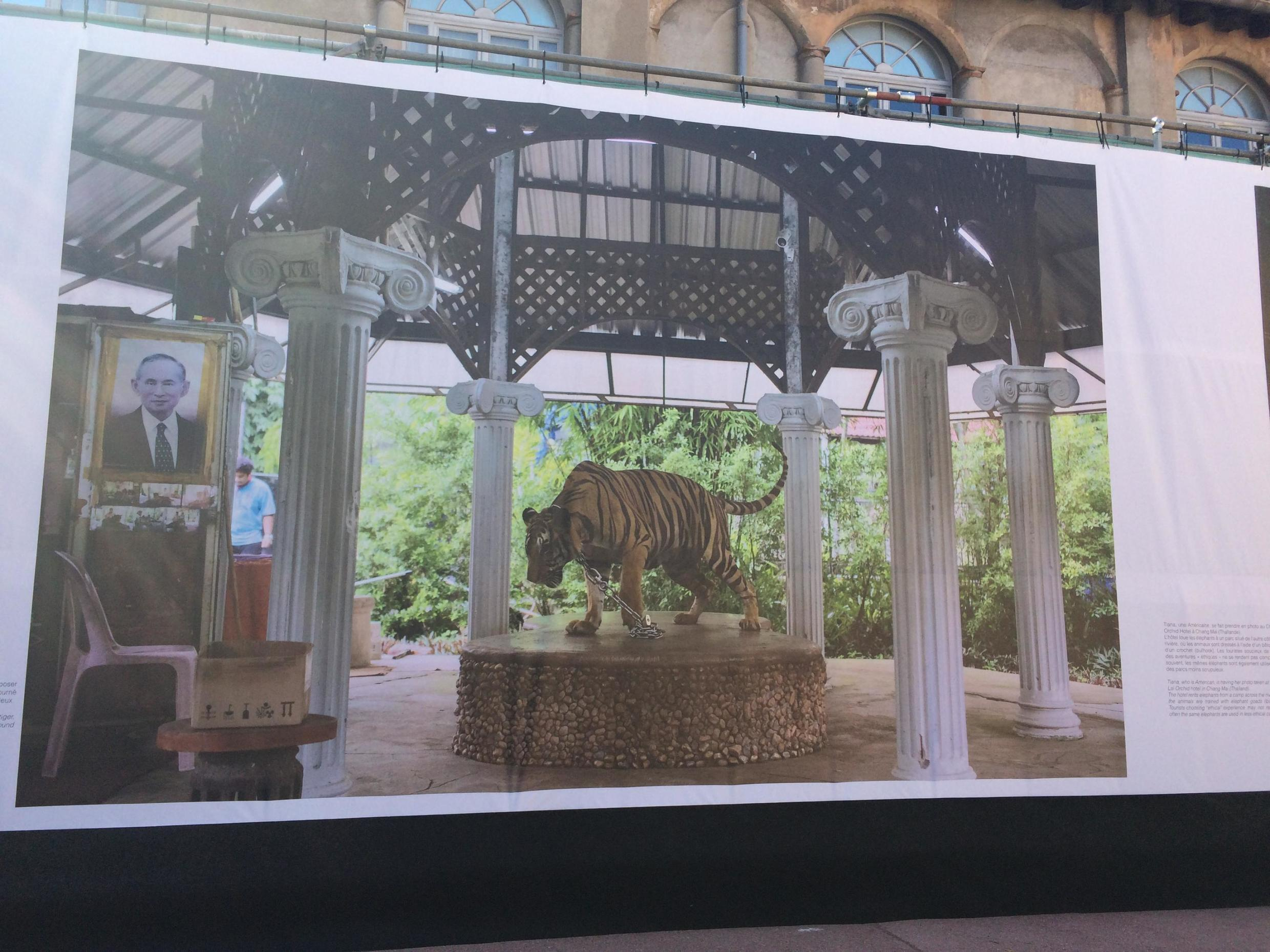 Image of a chained tiger seated on a platform in Kirsten Luce's exposition