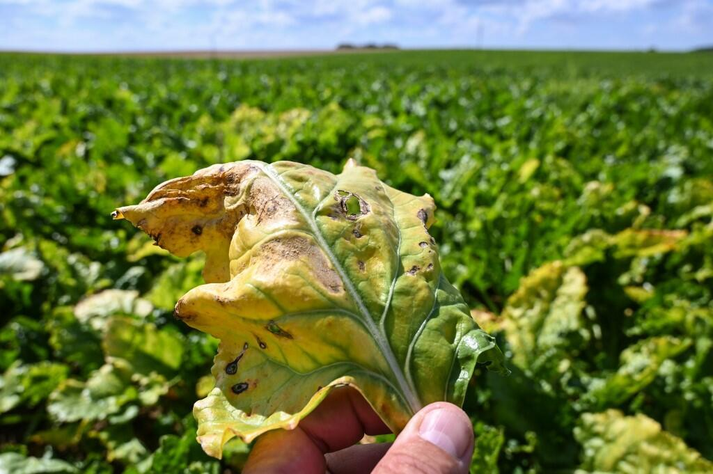 Farmer in Oye-Plage, in the north of France, shows a sugar beet leaf infected with the jaundice virus, 4 August 2020.